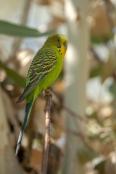 banded-bird;budgerigar;melopsittacus-undulatus;budgie;alice-springs-desert-park;parakeet;parrakeet