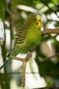 budgerigar-picture;budgerigar;budgie;melopsittacus-undulatus;small-cockatoo;parakeet;australian-parrot;parrot-sleeping;bird-sleeping