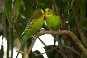 budgerigar-picture;budgerigar;budgie;melopsittacus-undulatus;small-cockatoo;parakeet;australian-parrot;kiss;kissing;birds-kissing