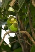 budgerigar-picture;budgerigar;budgie;melopsittacus-undulatus;small-cockatoo;parakeet;australian-parrot;birds-mating;parrots-mating;budgerigars-mating