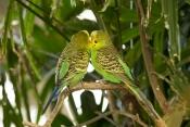 budgerigar-picture;budgerigar;budgie;melopsittacus-undulatus;small-cockatoo;parakeet;australian-parrot