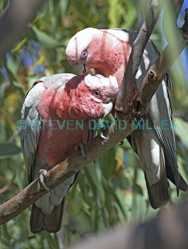 galah picture;galah;eolophus roseicapillus;cacatua roseicapillus;pink parrot;parrot;australian parrot;pink and grey parrot;pair of galahs;galah pair;male and female galah;female and male galah;cobbold gorge;robin hood station;georgetown;queensland;outback queensland;steven david miller;natural wanders