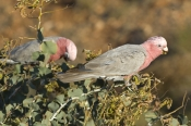 galah-picture;galah;eolophus-roseicapillus;cacatua-roseicapillus;grey-and-pink-cockatoo;gray-and-pink-cockatoo;australian-cockatoo;australian-parrot;galah-feeding;cape-range-national-park;australian-national-parks;western-australia-national-parks;steven-david-miller;natural-wanders
