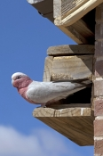galah-picture;galah;euolphus-roseicapillus;cacatua-roseicapillus;australian-cockatoo;gray-and-pink-cockatoo;grey-and-pink-cockatoo;pink-parrot;parrot-at-nesting-box;bird-at-nesting-box;nesting-box;coward-springs;oodnadatta-track;south-australia;steven-david-miller;natural-wanders