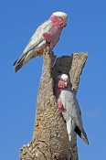 galah;nesting-galah-pair;mating-galah-pair;male-and-female-galah;euolphus-roseicapillus;cacatua-roseicapillus;pink-parrot;parrots-at-nesting-hollow;galahs-at-nesting-hollow;nesting-hollow-in-dead-tree;nesting-hollow-with-bird;coward-springs-station;oodnadatta-track;south-australia;steven-david-miller
