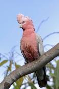 galah-picture;galah;eolophus-roseicapillus;cacatua-roseicapillus;pink-parrot;parrot;australian-parrot;pink-and-grey-parrot;female-galah;cobbold-gorge;robin-hood-station;georgetown;queensland;outback-queensland;steven-david-miller;natural-wanders