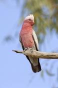 galah-picture;galah;eolophus-roseicapillus;cacatua-roseicapillus;pink-parrot;pink-and-grey-parrot;parrot;australian-parrot;galah-on-tree-branch;innamincka-regional-reserve;cooper-creek;steven-david-miller;natural-wanders;strzelecki-track