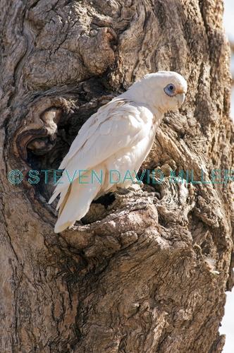 little corella picture;little corella;corella;white parrot;corella at nesting hollow;parrot at nesting hollow;bird at nesting hollow;nesting hollow;cacatua sanquinea;mungerannie;mungeranie;birdsville track;south australia;steven david miller;natural wanders
