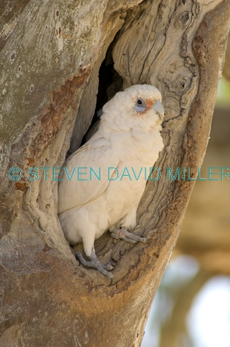 little corella picture;little corella;corella;australian corella;australian cockatoo;australian parrot;cacatua sanguinea;cooper creek;innamincka regional reserve;innamincka;strzelecki track;bird at nesting hollow;nesting hollow;parrot at nesting hollow;south australia;corella at nesting hollow;steven david miller;natural wanders