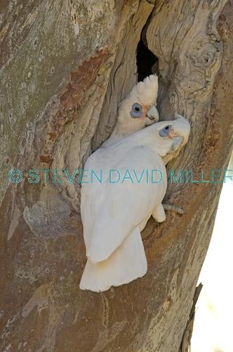 little corella picture;little corella;corella;australian corella;australian cockatoo;australian parrot;cacatua sanguinea;little corella pair;cooper creek;innamincka;innamincka regional reserve;strzelecki track;south australia;corella pair on tree branch;steven david miller;natural wanders;nesting hollow;corella pair at nesting hollow;parrot at nesting hollow