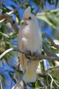 little-corella-picture;little-corella;corella;australian-corella;australian-cockatoo;australian-parrot;cacatua-sanguinea;cacatua-sanguinea-normantoni;normanton;karumba;gulf-of-carpentaria;queensland;steven-david-miller;natural-wanders