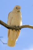 little-corella-picture;little-corella;corella;australian-corella;australian-cockatoo;australian-parrot;corella-sleeping;bird-sleeping;cacatua-sanguinea;cacatua-sanguinea-normantoni;normanton;karumba;gulf-of-carpentaria;queensland;steven-david-miller;natural-wanders