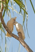 little-corella-picture;little-corella;corella;cacatua-sanguinea;white-corella;white-parrot;bird-with-blue-sky;parrot-with-blue-sky;australian-parrot;australian-corella;corella-pair;little-corella-pair;corellas-preening;parrots-preening;birds-preening;preening;mary-river;shady-camp;northern-territory;australia;steven-david-miller;natural-wanders