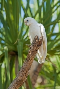 little-corella-picture;little-corella;corella;cacatua-sanguinea;white-corella;white-parrot;corella-in-tree;parrot-in-tree;bird-in-tree;bird-with-green-background;australian-parrot;australian-corella;mary-river;shady-camp;northern-territory;australia;steven-david-miller;natural-wanders