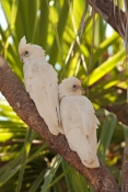 little-corella-picture;little-corella;corella;cacatua-sanguinea;white-corella;white-parrot;bird-with-blue-sky;parrot-with-blue-sky;australian-parrot;australian-corella;corella-pair;little-corella-pair;mary-river;shady-camp;northern-territory;australia;steven-david-miller;natural-wanders