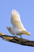 little-corella-picture;little-corella;corella;white-parrot;australian-cockatoo;australian-parrot;cacatua-sanquinea;mungerannie;mungeranie;birdsville-track;south-australia;steven-david-miller;natural-wanders;bird-wing;bird-stretching-wing;parrot-stretching-wing;wing;wings