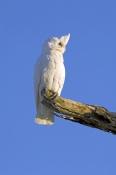 little-corella-picture;little-corella;corella;white-parrot;australian-cockatoo;australian-parrot;cacatua-sanquinea;mungerannie;mungeranie;birdsville-track;south-australia;steven-david-miller;natural-wanders