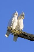 little-corella-picture;little-corella;little-corellas;corellas;pair-of-corellas;pair-of-white-parrots;australian-cockatoo;australian-parrot;cacatua-sanquinea;mungerannie;mungeranie;birdsville-track;south-australia;steven-david-miller;natural-wanders