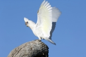 little-corella-picture;little-corella;corella;white-parrot;australian-cockatoo;australian-parrot;cacatua-sanquinea;bird-with-wings-open;wings;open-wings;parrot-with-open-wings;cockatoo-with-open-wings;mungerannie;mungeranie;birdsville-track;south-australia;steven-david-miller;natural-wanders