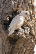 little-corella-picture;little-corella;corella;white-parrot;corella-at-nesting-hollow;parrot-at-nesting-hollow;bird-at-nesting-hollow;nesting-hollow;cacatua-sanquinea;mungerannie;mungeranie;birdsville-track;south-australia;steven-david-miller;natural-wanders