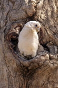 little-corella-picture;little-corella;corella;white-parrot;corella-at-nesting-hollow;parrot-at-nesti