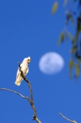 little-corella;cacatua-sanguinea-gymnopis;cooper-creek;innamincka;south-australia;moon-and-parrot;steven-david-miller