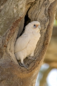 little-corella-picture;little-corella;corella;australian-corella;australian-cockatoo;australian-parrot;cacatua-sanguinea;cooper-creek;innamincka-regional-reserve;innamincka;strzelecki-track;bird-at-nesting-hollow;nesting-hollow;parrot-at-nesting-hollow;south-australia;corella-at-nesting-hollow;steven-david-miller;natural-wanders
