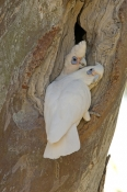 little-corella-picture;little-corella;corella;australian-corella;australian-cockatoo;australian-parrot;cacatua-sanguinea;little-corella-pair;cooper-creek;innamincka;innamincka-regional-reserve;strzelecki-track;south-australia;corella-pair-on-tree-branch;steven-david-miller;natural-wanders;nesting-hollow;corella-pair-at-nesting-hollow;parrot-at-nesting-hollow