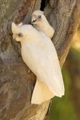 little-corella-picture;little-corella;corella;australian-corella;australian-cockatoo;australian-parr