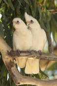 little-corella-picture;little-corella;corella;australian-corella;australian-cockatoo;australian-parrot;cacatua-sanguinea;little-corella-pair;cooper-creek;innamincka;innamincka-regional-reserve;strzelecki-track;south-australia;corella-pair-on-tree-branch;steven-david-miller;natural-wanders