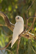 little-corella-picture;little-corella;corella;australian-corella;australian-cockatoo;australian-parrot;cacatua-sanguinea;cooper-creek;innamincka-regional-reserve;innamincka;strzelecki-track;south-australia;steven-david-miller;natural-wanders