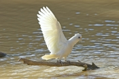 little-corella-picture;little-corella;little-corella-wing-extended;parrot-wing;bird-with-open-wings;wing;wings;parrot-with-open-wings;cacatua-sanguinea-gymnopis;little-corella-drinking;cooper-creek;innamincka;innamincka-regional-reserve;strzelecki-track;south-australia;steven-david-miller