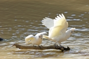 little-corella-picture;little-corella;little-corella-wing-extended;parrot-wing;bird-with-open-wings;wing;wings;parrot-with-open-wings;cacatua-sanguinea-gymnopis;little-corella-drinking;cooper-creek;innamincka;innamincka-regional-reserve;strzelecki-track;south-australia;steven-david-miller;natural-wanders