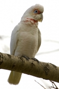 long-billed-corella-picture;long-billed-corella;longpbilled-corella;long-billed-corella;corella;australian-corella;australian-parrot;cacatua-galerita;grampians-national-park;victoria;australian-national-parks;victorian-national-parks;victoria-national-parks;steven-david-miller;natural-wanders