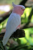 pink-cockatoo-picture;pink-cockatoo;major-mitchell-cockatoo;cacatua-leadbeateri;australian-cockatoo;australian-parrot;australian-bird;beautiful-bird;pink-bird;pretty-bird;bird-world;kuranda;cairns;threatened-species;steven-david-miller;natural-wanders