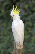 sulphur-crested-cockatoo-picture;sulphur-crested-cockatoo;sulphur-crested-cockatoo;cacatua-galerita;cockatoo;australian-cockatoo;australian-parrot;white-parrot;eungella-national-park;australian-national-park;queensland-national-park;queensland;steven-david-miller