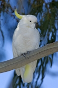 sulphur-crested-cockatoo-picture;sulphur-crested-cockatoo;sulphur-crested-cockatoo;cockatoo;cacatua-