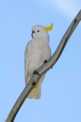 sulphur-crested-cockatoo-picture;sulphur-crested-cockatoo;sulphur-crested-cockatoo;cockatoo;australi