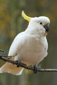 sulphur-crested-cockatoo-picture;sulphur-crested-cockatoo;sulfur-crested-cockatoo;cockatoo;cacatua-galerita;wild-cockatoo;australian-cockatoo;white-cockatoo;white-parrot;australian-parrot;vertical-cockatoo-picture;cockatoo-in-tree;grampians-national-park;victoria;australia;australian-bird;white-bird;steven-david-miller