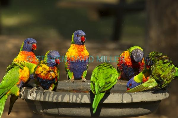 bird bathing;bird bath;rainbow lorikeet;Tachybaptus novaehollandiae;cania gorge national park