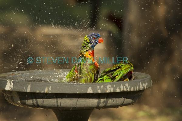 bird bathing;bird bath;rainbow lorikeet;Tachybaptus novaehollandiae;cania gorge national park
