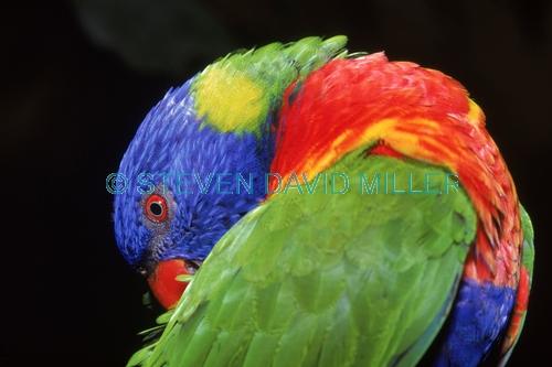 AUSTRALIA;BIRDS;COLOURFUL;LORIKEETS;PARROTS;VERTEBRATES;rainbow lorikeet;trichoglossus haematodus