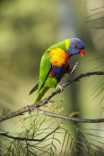 rainbow-lorikeet;Tachybaptus-novaehollandiae;cania-gorge-national-park;bird-scratching
