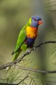 rainbow-lorikeet;Tachybaptus-novaehollandiae;cania-gorge-national-park