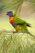 rainbow-lorikeet;Tachybaptus-novaehollandiae;cania-gorge-national-park;bird-with-fluffed-feathers