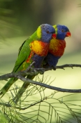 rainbow-lorikeets;Tachybaptus-novaehollandiae;cania-gorge-national-park