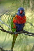 eye-contact;bird-with-wet-feathers;rainbow-lorikeet;Tachybaptus-novaehollandiae;cania-gorge-national-park