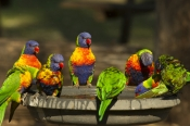 bird-bathing;bird-bath;rainbow-lorikeet;Tachybaptus-novaehollandiae;cania-gorge-national-park