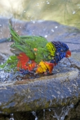 rainbow-lorikeet-picture;rainbow-lorikeet;trichoglossus-haematodus;parrot;lorikeet;australian-lorikeet;australian-parrot;rainbow-colored-bird;rainbow-coloured-bird;brisbane;queensland;australian-bird;steven-david-miller;natural-wanders;bird-bathing;bird-bath