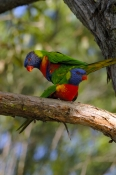 rainbow-lorikeet-picture;rainbow-lorikeet;trichoglossus-haematodus;parrot;lorikeet;australian-lorikeet;australian-parrot;rainbow-colored-bird;rainbow-coloured-bird;lane-cove-national-park;australian-national-park;sydney;new-south-wales;new-south-wales-national-park;australian-bird;steven-david-miller;natural-wanders;birds-mating;parrots-mating;lorikeets-mating;animals-mating;mating